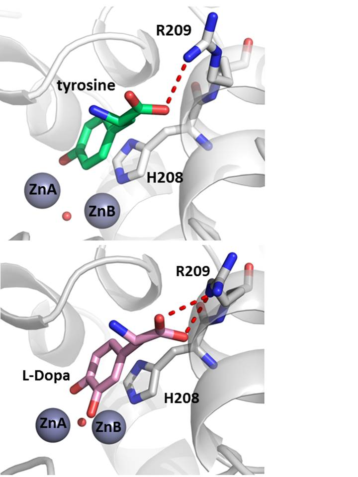 tyrosinase lab An improved histochemical method for demonstrating tyrosinase activity has  been  evidence from this laboratory that some mast cells contain tyrosinase.