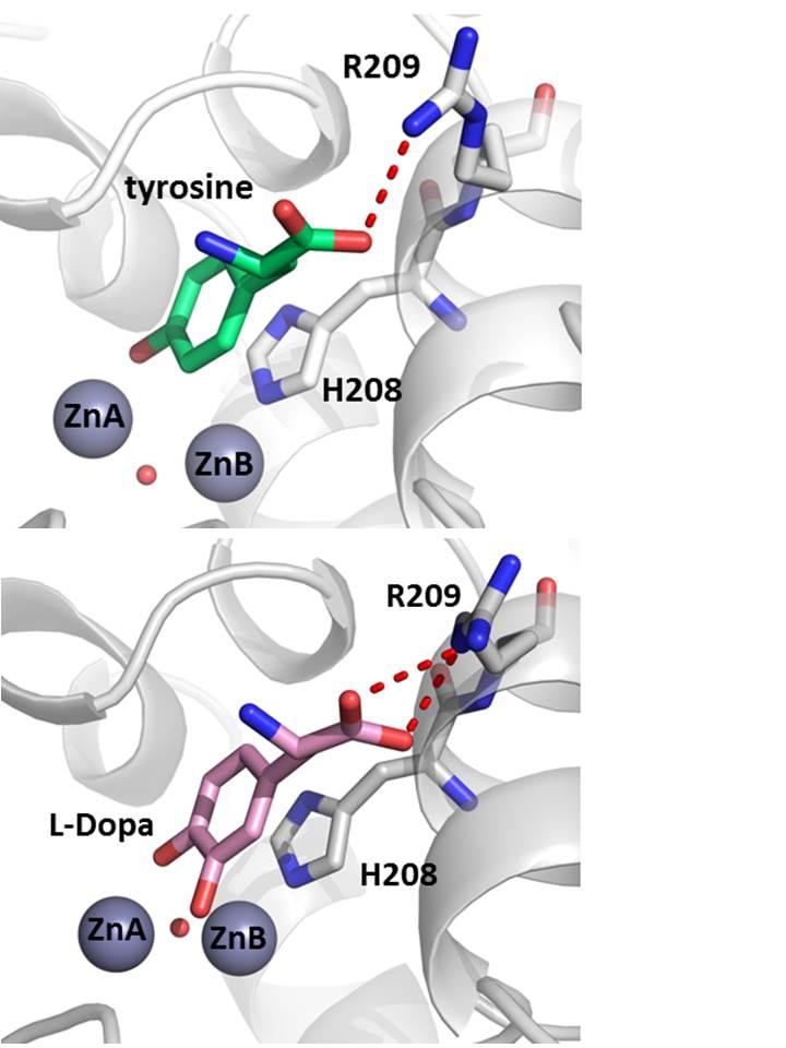 tyrosinase lab Tyrosinase polyclonal antibody from invitrogen for western blot, immunofluorescence, immunocytochemistry, immunohistochemistry and flow cytometry applications this antibody reacts with human samples.