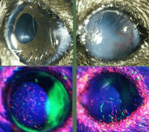 בתמונות שמשמאל נראית עין בריאה של עכבר, ובתמונות מימין – עין חולה. בתמונה הימנית למטה אפשר לראות את התאים החדשים נודדים מהלימבוס למרכז העין כדי לתקן את הנזק
