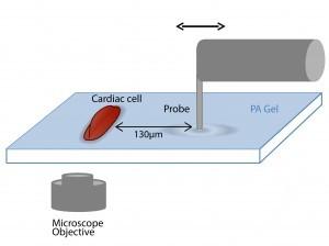 תרשים סכמטי של מערך הניסוי: מתקן מכני יוצר דפורמציות מכניות מחזוריות במצע שמתחתיו. משרעת הדפורמציות המכניות וכיוונן מדמים את אלו שיוצר תא לב פועם בסביבתו.
