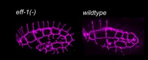 בתמונת המיקרוסקופ : במבט על האזור העליון בשני התצלומים אפשר לראות תהליך איחוי תקין (מימין) לעומת תהליך משובש (משמאל). בחלקו העליון של התצלום הימני נעלמים בהדרגה הקרומים המפרידים בין התאים. בחלקו העליון של התצלום השמאלי הם אינם נעלמים, והאיחוי אינו מתבצע, בגלל מוטציה בגן האיחוי eff-1
