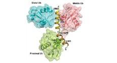 מבנה מרחבי פתור של שרשרת אוביקוויטין עם החלבון AIRAPL (צהוב).