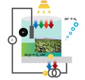תיאור סכמטי של התא הביו-פוטו-אלקטרוכימי