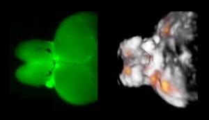 תוצאות דימות של מוח דג הזברה. משמאל: דימות במיקרוסקופ פלורוסצניה אופטי מספק רק תמונה מטושטשת המוגבלת לפני השטח. מימין: הגישה האופטו-אקוסטית FONT, לעומת זאת, מספקת תמונה תלת ממדית ברזולוציה גבוהה ומידע מפורט על פעילות הנוירונים (נקודות כתומות) בזמן אמת, בכל רחבי המוח. צילום: מרכז הלמהולץ, מינכן