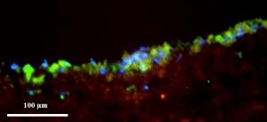 תאי לב (גרעינים כחולים) גדלים על המטריצה (אדומה) ומבטאים סמנים המעידים על פעילות לבבית (ירוק), מיקרוסקופ פלואורסנטי: