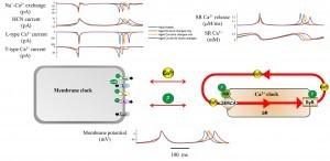 גורמים מולקולריים על גבי קרום התא והתא עצמו משפיעים על קצב הירי של הקוצב הביולוגי. המנגנונים המלוקולרים מקושרים דרך רמות של סידן וזרחן.