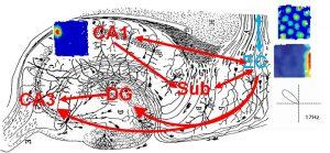 מכלול ההיפוקמפוס ותרשימי פעילות של סוגי תאים אופייניים באיזור זה