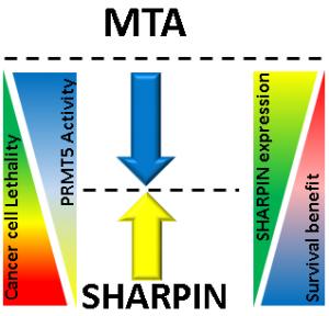 בתרשים: שרפין (חץ צהוב) פוגע בפעילות הגן MTA (חץ כחול) הבולם את פעילות האנזים PRMT5. כתוצאה מכך עולה רמת הפעילות של PRMT5 ובעקבותיה גדלה יכולת ההישרדות של תאי מלנומה. על סמך רמת השרפין בתא (משולש ירוק מימין) אפשר לחזות את ההשפעה העתידית של מעכבי PRMT5 (משולש כחול משמאל) על המטופל.