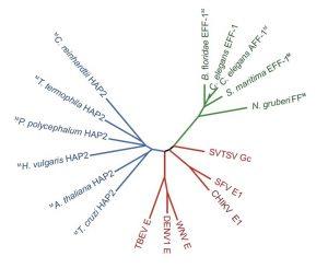 עץ המדגים את הקשרים בין משפחות חלבוני איחוי הנקראות fusexins; באדום: viral class II proteins; בירוק: חלבוני איחוי תאיים; בכחול: חלבוני איחוי המשמשים לרבייה מינית