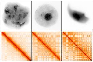 שינויים בארגון הדי-אן-איי במהלך התפתחות תאי הזרע. משמאל לימין: תאי זרע מתפתחים (תחילת מיוזה), תאי זרע מתפתחים (לאחר מיוזה) ותאי זרע בוגרים. בשורה העליונה: תמונות מיקרוסקופ של התאים כאשר הדי-אן-איי מסומן בשחור. בשורה התחתונה: מפות אינטראקציה של ניסוי Hi-C, המתארות מבנים מרחביים של די-אן-איי (צורות מלבניות). אפשר לראות שבתחילת המיוזה, כאשר הדי-אן-איי דחוס, המבנים קיימים אך חלשים יותר; הם מתחזקים לאחר המיוזה; והם מגיעים לשיא חוזקם בתאי זרע בוגרים.