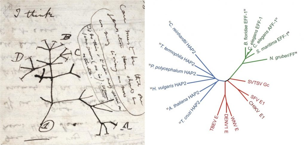 Figure: Trees depicting evolution. The first known evolutionary tree drawn by Darwin in 1837 (left) 10 and a tree showing the structural relationships between fusogens of the family named fusexins (right). Viral class II proteins (red); somatic fusogens (green); sexual fusogens (blue)7.
