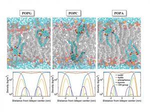 באיור: סימולציה ממוחשבת (דינמיקה מולקולרית) המראה את מיקום הגשש המולקולרי על פני השטח של ממברנות שונות בעלות הרכב ליפידי שונה