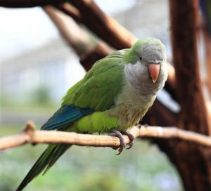 תוכי נזירי Monk parakeet