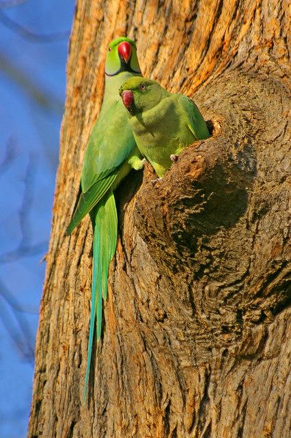 דררה Ringed-necked parakeet