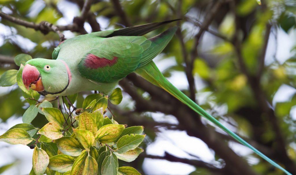 דררה אלכסנדרוני Alexandrine parakeet