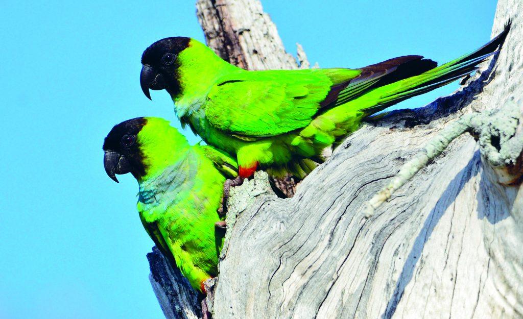 קוניור שחור ראש Nanday parakeet