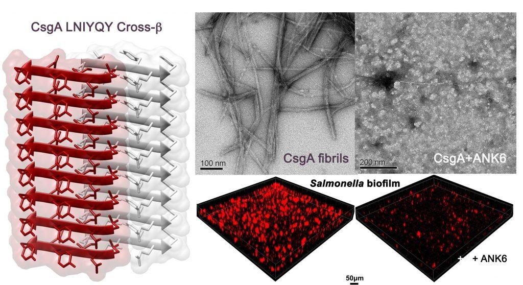איור - משמאל: המבנה האטומי של מקטע-חלבון שיוצר את סיבי הביופילם באי-קולי ובסלמונלה. מבנה זה דומה מאוד למבנים של סיבים עמילואידיים הקשורים למחלת האלצהיימר, ודמיון מבני זה הוביל לרעיון לפגוע בסיבי הביופילם החיידקי באמצעות החומרים שפותחו נגד סיבי האלצהיימר.  למעלה (בשחור-לבן): תמונות שצולמו במיקרוסקופ אלקטרונים. משמאל נראים סיבים שנוצרים על ידי החלבון החיידקי ומשמשים לבניית הביופילם; מימין מוצגת הפגיעה ביצירת הסיבים כתוצאה מהוספת החומר שפותח נגיד סיבי האלצהיימר (ANK6) למטה (בשחור-אדום): תמונות תלת-ממדיות שצולמו במיקרוסקופ קונפוקלי לאחר צביעה פלורוסנטית אדומה של הביופילם החיידקי. משמאל: צפיפות גבוהה של ביופילם; מימין: ירידה משמעותית בכמות הביופילם בעקבות הוספת החומר ANK6   קרדיט: רמי שלוש, דוברות הטכניון