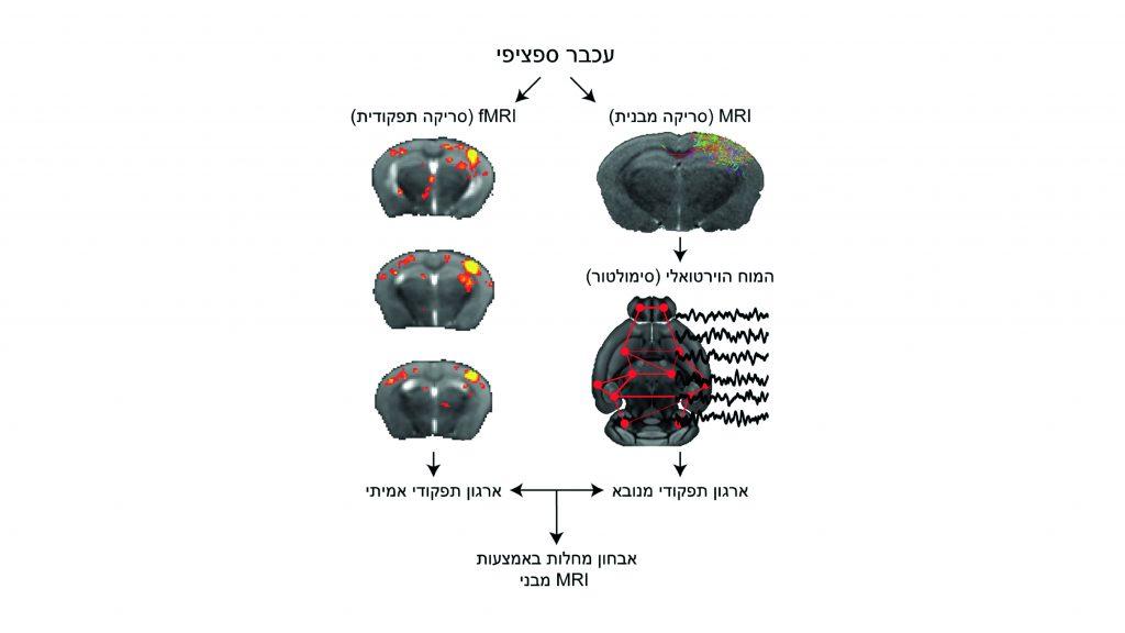 """בתרשים: שימוש ב""""מוח הווירטואלי"""" לסימולציה של ארגון תפקודי על בסיס קישוריות מבנית והשוואתה לארגון תפקודי כפי שנמדד ב-fMRI. פיתוח זה יאפשר להתבסס באבחון מחלות על סימולציה המבוססת על סריקות MRI שגרתיות"""