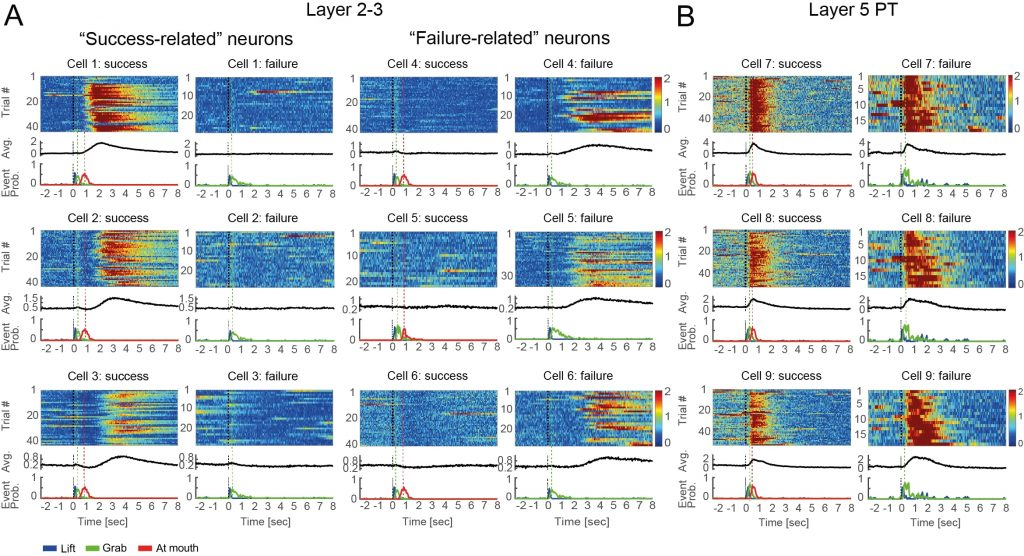 """7.תמונה שהופקה במיקרוסקופ דו-פוטוני (TPEF): פעילות של תאי עצב בקליפת המוח המוטורית כפי שנרשמה במהלך ביצוע מטלה מוטורית. הפעילות מיוצגת בסקלה הנעה בין אדום, המייצג פעילות חשמלית גבוהה, לכחול המייצג פעילות נמוכה. תאים הנמצאים בשכבה העמוקה של קליפת המוח התנועתית )מימין, שכבה 5) הציגו פעילות הקשורה בעיקר לתנועה עצמה, ואילו תאים הנמצאים בשכבות החיצוניות יותר של קליפת המוח התנועתית (משמאל, שכבות 3-2) הציגו פעילות ייחודית המספקת משוב על ביצוע מוטורי מוצלח באמצעות """"תאי הצלחה"""" ועל ביצוע מוטורי לא מוצלח באמצעות """"תאי כישלון."""""""