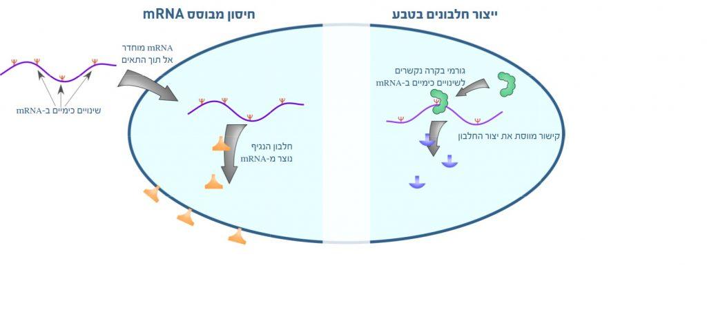 בתרשים: משמאל: החיסונים. חיסוני mRNA מבוססים על החדרת mRNA מלאכותי לתוך תאים כדי שישמש תבנית לבניית החלבון הנגיפי שיפעיל את מערכת החיסון. זמן קצר לאחר כניסתן של מולקולות ה- mRNA לתא הן מתחילות להתניע את ייצורם של החלבונים החיסוניים הנדרשים לתא. mRNA מכיל מספר שינויים כימיים, שמשפרים את פעילותו בתא. מימין: המנגנון הטבעי. המחקר המתפרסם ב-Nucleic Acids Research מראה כיצד שינויים כימיים דומים, הקיימים באופן טבעי ב-mRNA, משמשים כאתרי קישור לגורמי בקרה. קישור זה משפיע על פעילותו של הריבוזום וכך מאפשר ייצור חלבונים בכמויות מדויקות יותר ובהתאם לצורכי האורגניזם.