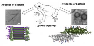 """הפפטיד יופרין 3.5 מופרש על עור הקרפדה בתצורה """"רדומה"""", בה מולקולות הפפטיד מתארגנות לכדי סיב עמילואידי מסוג cross-β. בעת חשיפה לחיידקים יש האצה של יצירת סיבים מסוג cross-α על גבי קרומי התא של אותם חיידקים שמובילים להרג. התמונות נלקחו באמצעות מיקרוסקופ אלקטרונים חודר (TEM) במרכז למיקרוסקופיית אלקטרונים בפקולטות להנדסת חומרים ולהנדסה כימית בטכניון. המבנה האטומי cross-α נקבע באמצעות מאיץ החלקיקים האירופי בצרפת (ESRF). (קרדיט: ניר סלינס,טכניון)"""