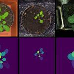 תמונות מלאכותיות של צמחי טבק (ימין) ושני זנים של תודרנית לבנה (אמצע, שמאל). בשורה העליונה מוצגות התמונות המלאכותיות ובתחתונה - מסיכות העלים. יצירת כמות גדולה של תמונות מלאכותיות (מסונתזות) מאפשרת לאמן רשת נוירונים עמוקה שתאפשר הפרדה טובה בין עלים בתמונות אמיתיות.