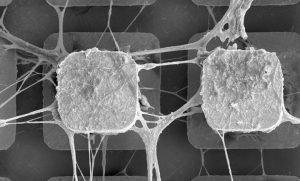 תרבית נוירונים הגדלה על מיקרוצ'יפ תלת-ממדי. הנוירונים ממוקמים בקצה האלקטרודות ובבסיסן. צולם במיקרוסקופ אלקטרונים סורק (SEM) Credit: 3Brain AG