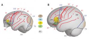 הבדלים נוירואנטומיים עיקריים בין מוח השימפנזה (A, משמאל) למוח האדם (B). באדום מסומנים חריצי המוח העיקריים. בצהוב ובכחול – איזורים קורטיקליים המהווים (יחד) את מרכז הדיבור ע״ש ברוקה. בחום (איזור 17) – הקורטקס הראייתי. האיזור המקווקו – Broca's Cap – יוצר בליטות דומות באנדוקאסט של האדם ושל השימפנזה, אבל בליטה זו מתייחסת לאיזורים קורטיקליים שונים בשני היצורים. הבנה זו היתה מפתח לפיענוח האנדוקסט של הפרטים מדמניסי. קרדיט: MS Ponce de Leon and Ch. Zollikofer