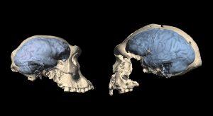 אחת מהגולגלות של דמניסי (מוח פרימיטיבי, משמאל) וגולגולת מאינדונזיה (מוח מודרני יותר מלפני 1.7-1.5 מיליון שנה). קרדיט:MS Ponce de Leon and Ch. Zollikofer